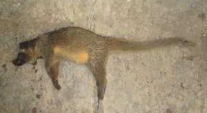 an-electrocuted-himalayan-palm-civet-at-kurizam-mongar-300x171