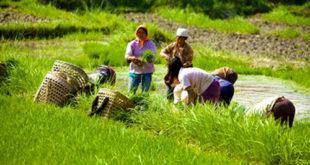rice-farming-bhutan_f76e